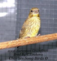 Greenfinch baby