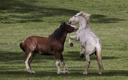 Horse Fight 1