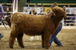 April Jr. Heifer Calf Class