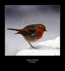 Robin in Winter