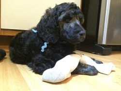 Blue playing with a sock toy.  6 weeks.