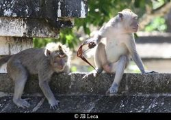 A macaque is looking at the token (eyeglasses) stolen by another group member (Uluwatu)
