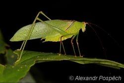 Grashopper, Wanang
