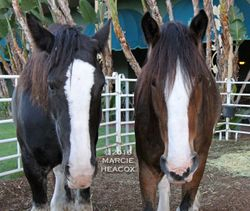 Clydesdale Sisters