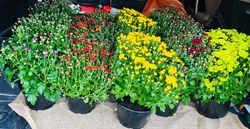 Lovely Mums to Celebrate Autumn!
