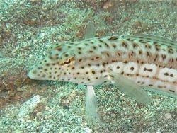 Speckled Sandperch-Variation(female)Close-up