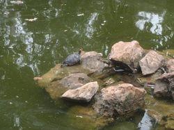 A turtle in Cascais park