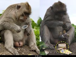 An adult macaque stole eyeglasses from a tourist (left) and returned them in exchange for a bag of fruit - not a bank note! (Uluwatu)