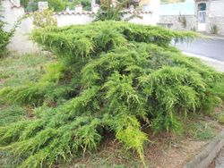 Juniper after weeding