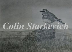 "Horned Lark (9 by 12"" pencil drawing) In Private Collection"