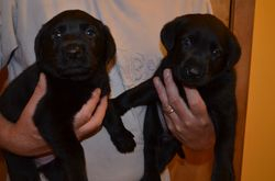 Two of our Black boys at 4 weeks old