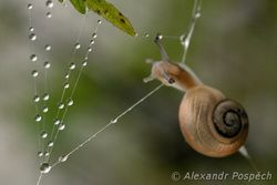 Snail climbing on the spider web with dew