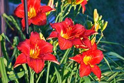 Red day lilly patch