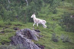 Dall's Sheep from Alaska Rail