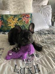 Secret X Stitch male puppy