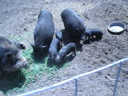 Family shot of some of the pigs
