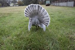 Slate Gobbler showing underside of tail