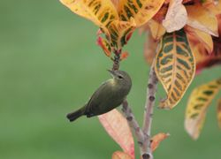 Common Yellowthroat (f)
