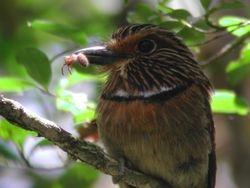 Crescent-chested Puffbird (Tamatia rayé)