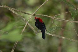 Soldadinho ( Antilophia galeata )