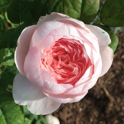 Queen of Sweden English Rose