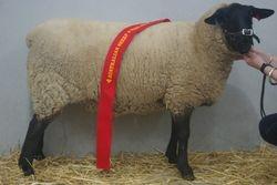 Wooly ewe 520