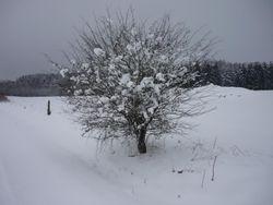12. Cotton tree.