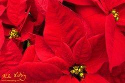 Nochebuena (Poinsettia) #10