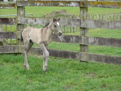 Grulla Filly