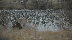Geese On A Frozen Pond