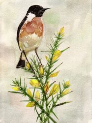 Stonechat on Gorse