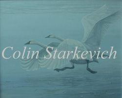 "Spring Fog - Tundra Swans (16 by 20"" acrylic on canvas) $695.00"