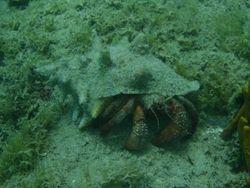 A HUGE hermit crab in Deep Bay