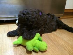 Purple chewing the green stuffed toy.  31 days old.