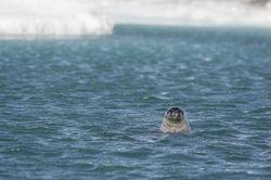 Zeehond in gletsjermeer