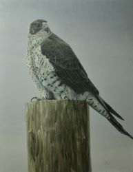 "Gyr Falcon (24 by 30"" acrylic on canvas) In Private Collection"