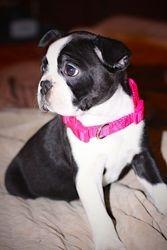Dixie as a puppy