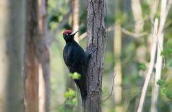 Black Woodpecker (Pic noir)