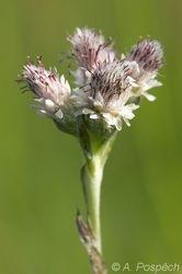 Antennaria dioica - kocianek dvoudomy