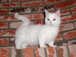 """Uki Flurry"" shorthair white with light green eyes standard Munchkin mom"