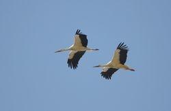 White Stork (Cigogne blanche)