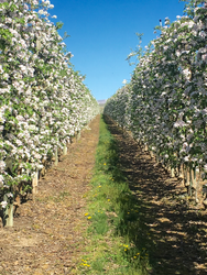 Gala Apple Bloom by Craig O'Brian