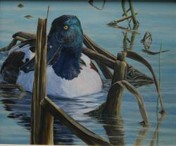 "Northern Shoveler ( 9 by 12"" oil on panel) In Private Collection"