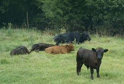 Calves relaxing