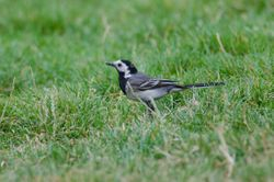 White Wagtail  (Bergeronette grise)