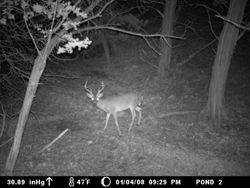 whit tail buck