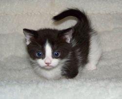 Oreo, black/white bi-color shorthair boy