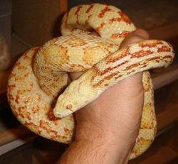 Amelanistic Sonoran Gopher Snake