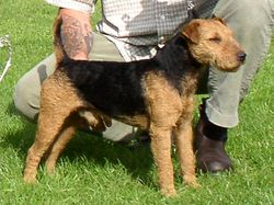 Black and Tan Lakeland/Fell Terrier.