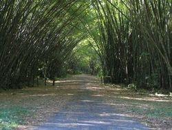 Bamboo Cathaderial